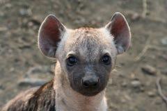 hyenapup Royaltyfri Bild