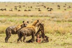 Hyenas με μια θανάτωση Στοκ Εικόνες
