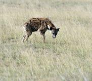 Hyenas στη σαβάνα Στοκ Εικόνες
