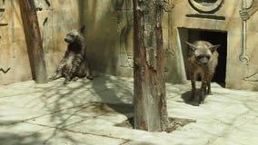 Hyenas στο ζωολογικό κήπο Στοκ Εικόνες