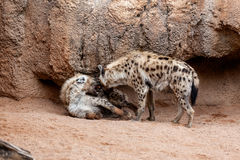 Hyenas Stock Photography