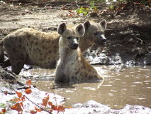 Hyenas Στοκ Εικόνες