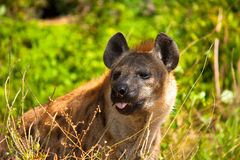 Hyenas Στοκ Φωτογραφία