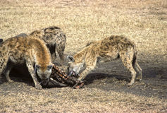 Hyenas. Devouring a rhinoceros in Amboselli preservation park, Kenya Stock Photo