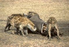 Hyenas. Devouring a rhinoceros in Amboselli preservation park, Kenya Royalty Free Stock Photos
