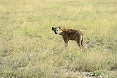hyenas Στοκ εικόνες με δικαίωμα ελεύθερης χρήσης