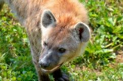 hyenas Στοκ Εικόνα