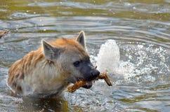 hyenas Στοκ φωτογραφία με δικαίωμα ελεύθερης χρήσης