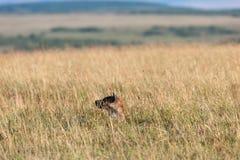 hyenas Στοκ Φωτογραφίες