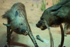 hyenas стоковое изображение