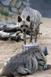 hyenas Στοκ εικόνα με δικαίωμα ελεύθερης χρήσης