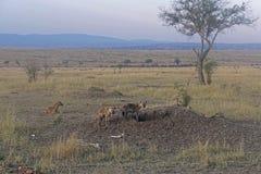 hyenas Arkivfoton