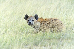 Hyenas Royalty Free Stock Photography