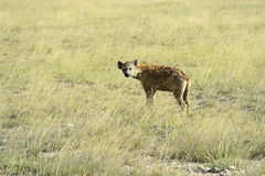 Hyenas Royalty Free Stock Images