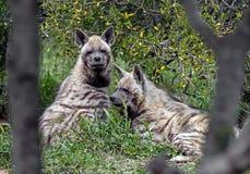 Hyenas 1 Stock Image