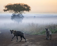 Hyenas before dawn Royalty Free Stock Image