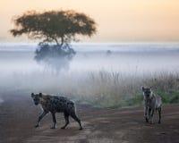 Hyenas before dawn. In the fog, Nairobi National Park Royalty Free Stock Image