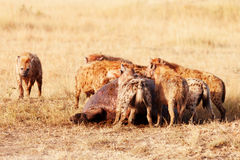 Hyenas eating a pray, Masai Mara Royalty Free Stock Photo