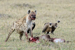 The hyenas are eating prey, behind is three vulture Royalty Free Stock Photo