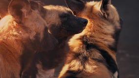 Hyenas In The Evening Sun stock video