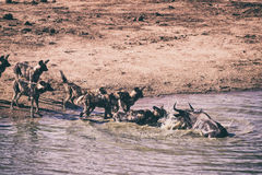 Hyenas hunting wildebeest Royalty Free Stock Images
