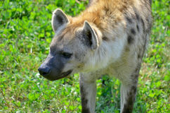 Hyenas Royalty Free Stock Image