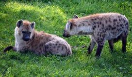 Hyenas Stock Images