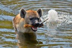Hyenas Stock Photo