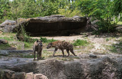 Free Hyenas In Busch Gardens Tampa Bay. Florida. Royalty Free Stock Photos - 83418848