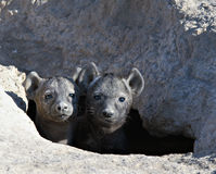 Hyenas, Kenya Africa Stock Photos