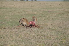 Hyenas in Kenya Eating Wildabeast after Lions are finished Royalty Free Stock Image