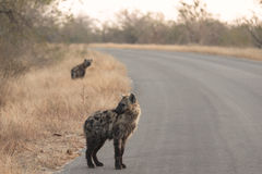 Hyenas in kruger national park Royalty Free Stock Images