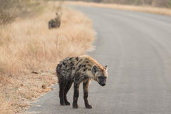 Hyenas in kruger national park Stock Photography