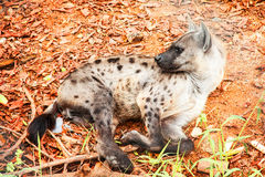Hyenas lying on the floor Stock Photography