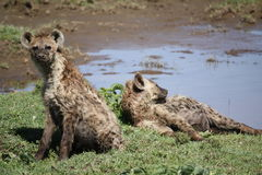 Hyenas lying by water stock images