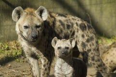 Hyenas manchados (crocuta del Crocuta) Fotografía de archivo
