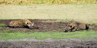 Hyenas Relaxing Stock Photos