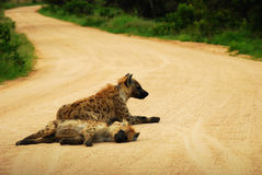Hyenas in road. Two hyenas lying in the road in the African bushes Stock Photos