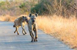 Hyenas run in the road Stock Photos
