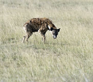 Hyenas in the savannah Stock Images