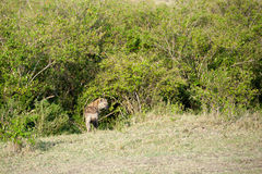 Hyenas Royalty Free Stock Photo