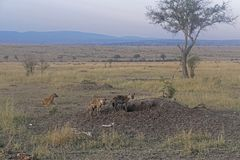 Hyenas. Several spotted hyenas near hole in Africa Stock Photos