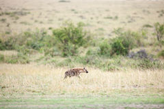Hyenas Royalty Free Stock Photos