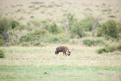 Hyenas Stock Images
