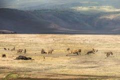 Hyenas versus lions stock photo