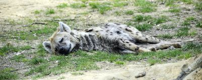 Hyenaslaap, die op de grond liggen royalty-vrije stock afbeelding
