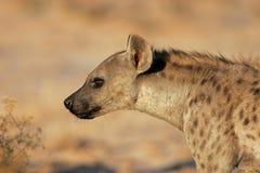 hyenastående Arkivfoton