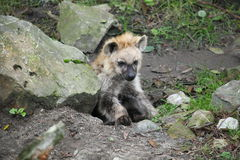 Hyenavalp Royaltyfri Bild