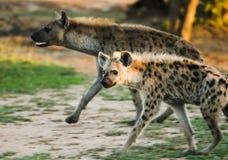 Hyenawelp, Umfolozi, Zuid-Afrika Stock Fotografie