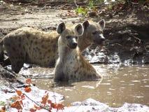 Hyenor Arkivbilder